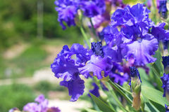 Bright blue iris flowers with bowed head Stock Photography