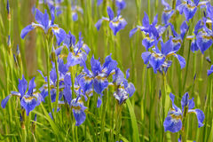 Bright blue iris flowers. Among the green grass Stock Photo