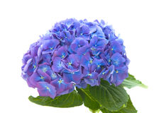 Bright blue-lilac hydrangea Royalty Free Stock Images