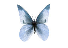 Bright Blue Monarch Butterfly Stock Image