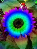 Bright blue, multicoloured sunflowers photographed in South Africa