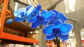 Bright Blue Orchid Set in a Commercial Background stock photos