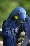 Bright blue parrot Royalty Free Stock Photo