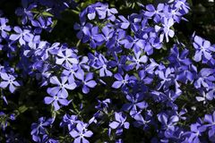 Bright blue phlox - many small spring flowers, botany, background Stock Images