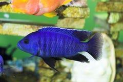 Bright blue predator fish. In the aquatium Royalty Free Stock Photos