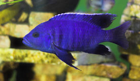 Bright blue predator fish Royalty Free Stock Photography