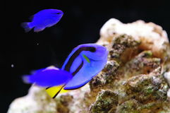 Bright blue regal tang Stock Photography
