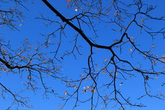 Bright blue skies as backdrop to tree branches with last of the season's leaves Stock Photo