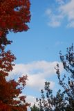 Bright blue sky offset by red leaves on a late fall New New England day. White clouds, green. orange and red leaves, warm November day Stock Photography