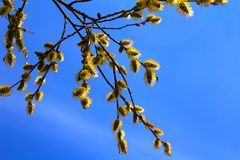 Willow branch in spring. On a bright blue spring sky blossoming willow branch Royalty Free Stock Images