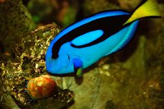Bright blue tropical fish Stock Images