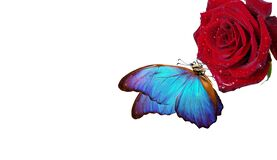 Bright blue tropical morpho butterfly on red rose in water drops isolated on white. butterfly on a flower. greeting card