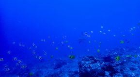 Underwater Reef with Tropical Fish and Hammerhead Shark in Distance royalty free stock images