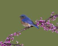 Bright Bluebird on Redbud Branch Royalty Free Stock Photography