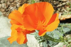 Bright bold orange and yellow poppy against bokeh natural background stock images
