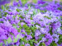 Bright Bougainvillea Stock Photography