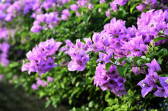 Bright Bougainvillea flowers Royalty Free Stock Photos