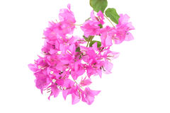 Bright Bougainvillea flowers isolated on white background stock photos