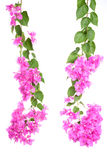 Bright Bougainvillea flowers  on white background Royalty Free Stock Photo