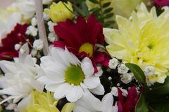 A bright bouquet of gerberas and chrysanthemums entwined with green sprigs of pistachio tree. A bright bouquet of red and white gerberas, yellow chrysanthemums stock photo