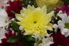 A bright bouquet of gerberas and chrysanthemums entwined with green sprigs of pistachio tree. A bright bouquet of red and white gerberas, yellow chrysanthemums royalty free stock photography