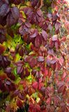 Bright branch of autumn leaves Parthenocissus. Bright branch of autumn leaves Parthenocissus Selective focus Stock Photography