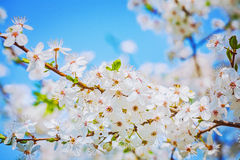 Bright branch of blossoming cherry tree on sky Royalty Free Stock Photo