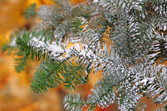 Bright branch of Christmas tree Royalty Free Stock Images