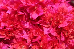 Bright branches of bougainvillea Royalty Free Stock Photo