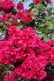Bright branches of bougainvillea. Natural background with bright branches of bougainvillea Royalty Free Stock Photos
