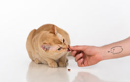Bright Brown Burmese cat. Man hand with tattoo offer food. Isolated on white background.  royalty free stock images