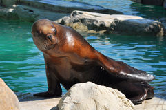 Bright Brown Seal With Blue Water Background Royalty Free Stock Photo