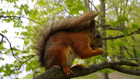 Bright brown squirrel gnawing on a nut while sitting on a tree. Selective focus. Bright brown squirrel gnawing on a nut while sitting on a tree branch. Selective Stock Photos