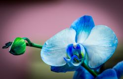 Bright bud of blue color orchid flower close-up macro royalty free stock image