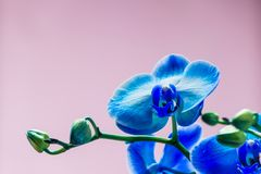 Bright bud of blue color orchid flower close-up macro stock photo