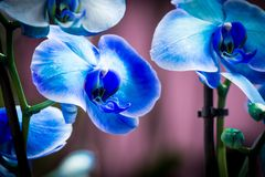 Bright bud of blue color orchid flower close-up macro stock photos