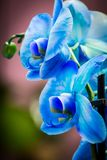 Bright bud of blue color orchid flower close-up macro stock images