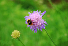 bright bumblebee Royalty Free Stock Images