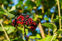 Bright bunch of viburnum black red berry on a long branch grows up among the foliage in sunlight. Bright bunch of viburnum black berry on a long branch grows up Stock Photos