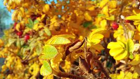Bright bush with yellow leaves in all its glory. Bright shrub with yellow leaves in all its glory. Beautiful photo, warming the warmth of the autumn sun stock photography