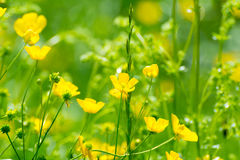 Bright buttercups on a green grass Stock Photography