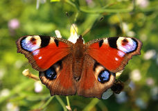 The bright butterfly with. Eyes on wings flies on a meadow Stock Photography