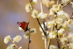 Bright butterfly on a blooming willow. European peacock butterfly (inachis io) on a catkin of grey willow (salix cinerea Royalty Free Stock Photo