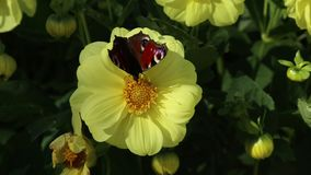 Bright butterfly of European Peacock Aglais io on a yellow flower of Dahlia stock video