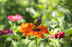 Bright butterfly on a flower Royalty Free Stock Images