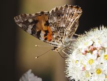 Butterfly hive on the white flower stock image