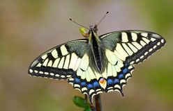 Bright butterfly machaon in the meadow. butterfly sitting on a branch. close up. stock photos