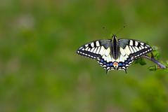 Bright butterfly machaon in the meadow. butterfly sitting on a branch. close up copy spaces. Bright colorful butterfly machaon in the meadow. butterfly sitting stock image