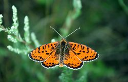 Bright red butterfly on a meadow. Brush-footed butterflies. Closeup royalty free stock images