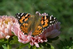 Bright butterfly with orange wings, white and black spots on the front wings, black spots on the rear wings. stock photography